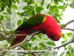 Pictures of Lory at Jurong Bird Park