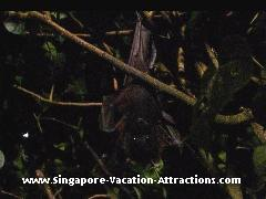 A unique experience walking through the Mangrove Walk where you could see bats flying freely
