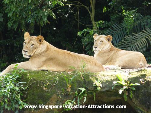 The best time to see lions at Singapore Zoo is during their feeding time.