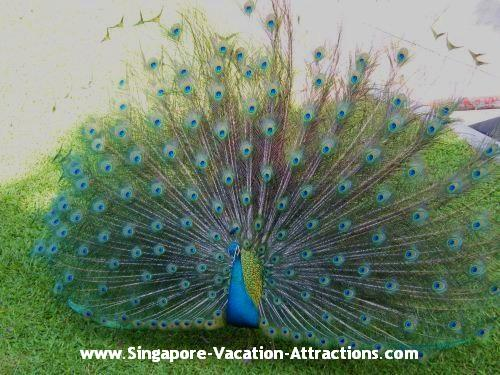 Peacock in front of the entrance of Singapore Underwater World