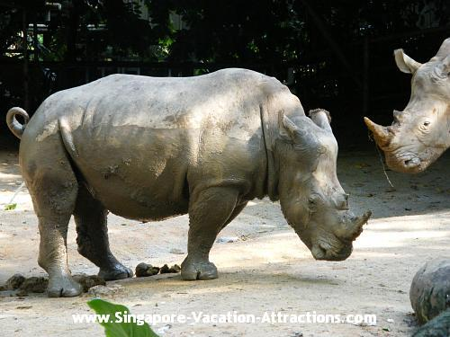 White Rhinoceros pictures and photos in Singapore Zoological Garden.