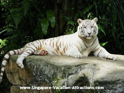 Singapore Zoo's most popular animal, White Bengal Tiger.
