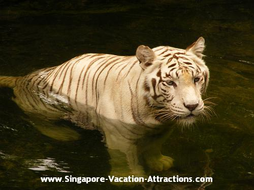 Pictures and photos of White Bengal Tiger in Singapore Zoo.